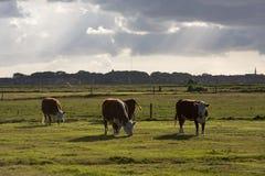 Kühe in einer Wiese bei Ameland lizenzfreie stockfotografie