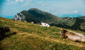Kühe in einer Wiese in den Alpen, Italien, Monte Baldo Lizenzfreie Stockbilder