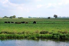 Kühe, einzelne Datei, in der Flussufer-Wiese Lizenzfreie Stockbilder