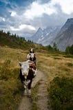 Kühe entlang den italienischen Alpen Stockbild