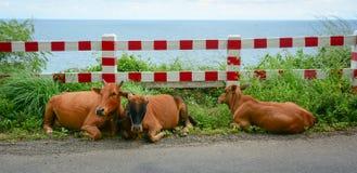 Kühe entspannen sich auf Straße Stockfotografie