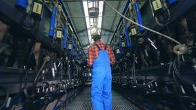Kühe erhalten durch Maschinen unter Steuerung einer männlichen Arbeitskraft gemolken stock video