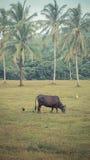 Kühe essen Gras, Retro- Effekt Stockfotos