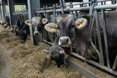 Kühe essen Zufuhr Stockbild