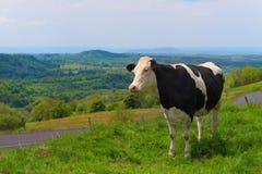 Kühe in Frankreich Stockbilder