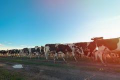 Kühe gehen auf die Straße stockfotografie