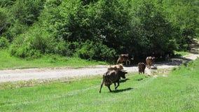 Kühe gehen von der Weide Kuhweg entlang dem Erdweg stock video