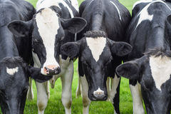 Kühe, Gesichter schließen oben Lizenzfreie Stockfotos