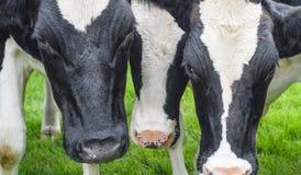 Kühe, Gesichter schließen oben Stockfotos