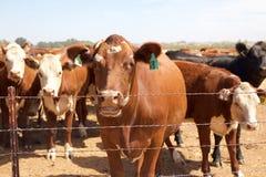 Kühe hinter Zaun Stockfotos