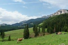Kühe hoch in den Bergen Lizenzfreie Stockfotos