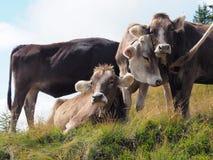 Kühe im österreichischen Gebirgsanstarren entspannt stockfoto