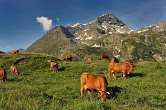 Kühe im Berg Stockfotos