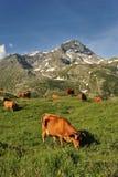 Kühe im Berg Lizenzfreies Stockbild