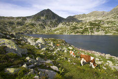 Kühe im Berggebiet Lizenzfreie Stockbilder