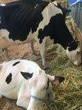 Kühe im Heu Lizenzfreie Stockfotografie