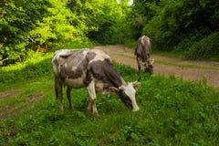 Kühe im Holz Stockfoto