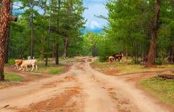 Kühe im Kiefernwald Lizenzfreie Stockbilder