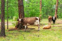 Kühe im Kiefernwald Stockfotografie