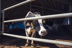 Kühe im modernen Kuhstall, Molkerei, Viehbestandvieh am industriellen Ackerbau Lizenzfreie Stockfotografie