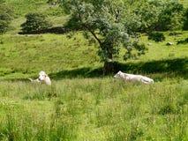 Kühe im Ruhezustand auf dem Gebiet Lizenzfreies Stockfoto