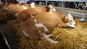 Kühe im Stall Lizenzfreies Stockbild