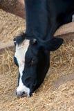Kühe im Stall Stockfotografie