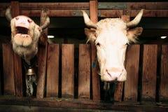 Kühe im Stall stockfoto