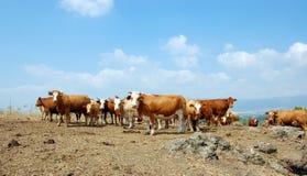 Kühe im wilden Stockfoto