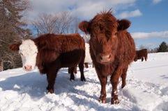 Kühe im Winter Stockbilder