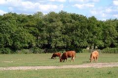 Kühe, innen, das er aufstellt Stockfoto