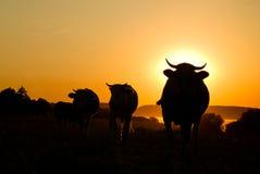 Kühe, Kühe, Kühe Lizenzfreies Stockbild