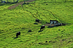 Kühe kommen nach Hause Stockfoto