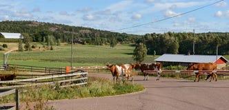 Kühe kommen von der Weide und kreuzen die Straße Stockbild