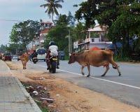 Kühe kreuzen nach dem Zufall Stadtstraße unter Verkehrsautos und -motorrädern stockfoto