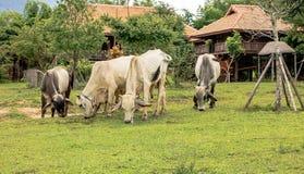 Kühe lassen auf dem Boden weiden stockfotos
