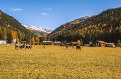 Kühe lassen auf dem Feld in Davos in der Schweiz auf dem Hintergrund der Schweizer Alpen weiden Davos Switzerland Lizenzfreie Stockbilder