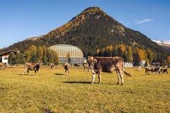Kühe lassen auf dem Feld in Davos in der Schweiz auf dem Hintergrund der Schweizer Alpen weiden Davos Switzerland Stockfotos
