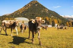 Kühe lassen auf dem Feld in Davos in der Schweiz auf dem Hintergrund der Schweizer Alpen weiden Davos Switzerland Stockbilder