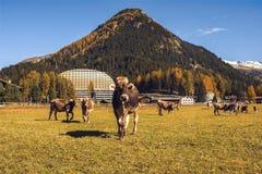 Kühe lassen auf dem Feld in Davos in der Schweiz auf dem Hintergrund der Schweizer Alpen weiden Davos Switzerland Stockbild