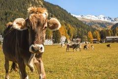 Kühe lassen auf dem Feld in Davos in der Schweiz auf dem Hintergrund der Schweizer Alpen weiden Davos Switzerland Lizenzfreie Stockfotografie