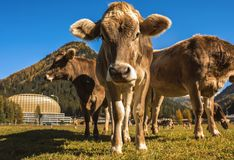 Kühe lassen auf dem Feld in Davos in der Schweiz auf dem Hintergrund der Schweizer Alpen weiden Davos Switzerland Lizenzfreie Stockfotos