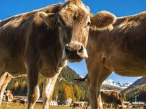 Kühe lassen auf dem Feld in Davos in der Schweiz auf dem Hintergrund der Schweizer Alpen weiden Davos Switzerland Stockfotografie
