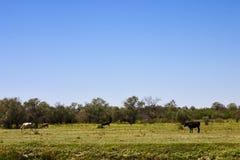 Kühe lassen auf dem Gebiet weiden Stockfotos