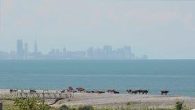 Kühe lassen auf dem Ufer vor dem hintergrund des Meeres und der Stadt mit Wolkenkratzern weiden Tag, sonnig, Dunst Batumi, Georgi stock footage