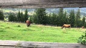 Kühe lassen auf einem grünen Feld in den Bergen der Karpaten weiden stock video footage