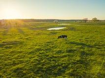 Kühe lassen auf einer Wiese nahe dem Teich weiden Stockfotografie