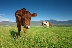 Kühe lassen auf grüner Wiese weiden Stockbild