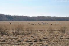 Kühe lassen auf Weide mit grasartigem Gras, Vorfrühling weiden, Lizenzfreie Stockbilder