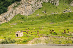 Kühe lassen in den Bergen weiden Lizenzfreie Stockbilder